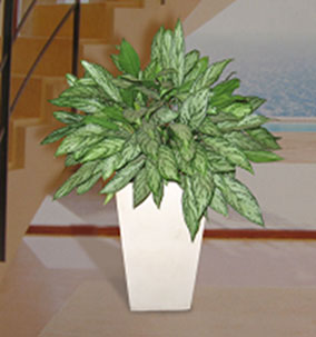 Plantas plantas ornamentales peruanas medicinales for Plantas decorativas de interior